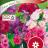 Annual phlox 'Ethnie Pastel mix'-thumbnail