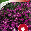 Lobelia erinus Pendula 'Red Cascade'-thumbnail