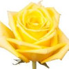 Ruusu keltainen-thumbnail