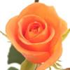 Ruusu oranssi-thumbnail