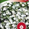 Lobelia erinus 'Snowball'-thumbnail