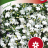 Sinilobelia 'Snowball'-thumbnail