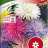 Kiinanasteri 'Prinette mix'-thumbnail