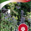 Nepeta × faassenii-thumbnail