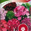 Dianthus barbatus 'Herald of Spring'-thumbnail