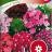 Harjaneilikka 'Herald of Spring'-thumbnail