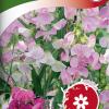 Lathyrus latifolius-thumbnail