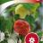 Abutilon x hybridum-thumbnail