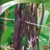 Bean 'Carminat'-thumbnail
