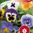 Tarhaorvokki 'Florist Strain'-thumbnail