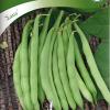 Bean 'Saxa'-thumbnail