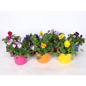Vernal Pansy T_PRODUCT_IMAGE