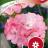 Pelargoni 'Inspire Pink F1'-thumbnail