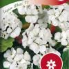 Pelargonium 'Inspire White F1'-thumbnail