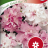 Tarhapetunia 'Cascade Orchid Mist F1'-thumbnail