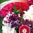 Tarhapetunia 'Glorius F1'-thumbnail