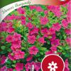 Petunia 'Showers Burgundy'-thumbnail
