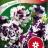 Tarhapetunia 'Purple Pirouette F1'-thumbnail