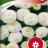 Reunuspäivänkakkara 'Snowball'-thumbnail
