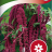 Love-lies-bleeding-thumbnail