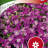 Aubrieta x cultorum 'Red Cascade'-thumbnail