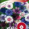 Cornflower 'Polka Dot'-thumbnail