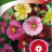 Alcea rosea-thumbnail