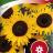 Auringonkukka 'Ikarus'-thumbnail