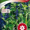 Salvia farinacea 'Victoria'-thumbnail