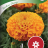 Tagetes erecta 'Taishan Orange'-thumbnail