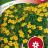 Kääpiösamettikukka 'Lemon Star'-thumbnail