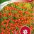 Kääpiösamettikukka 'Tangerine Gem'-thumbnail