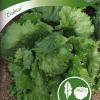 Lettuce 'Calmar'-thumbnail