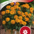 Tagetes erecta 'Mowgli Orange'-thumbnail
