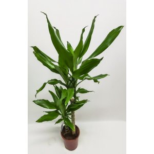 Dragon tree plant, about 95 cm T_PRODUCT_IMAGE