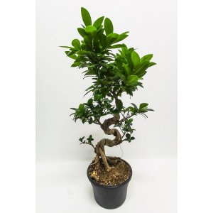 Ficus microcarpa bonsai, about 65 cm, special offer! T_PRODUCT_IMAGE