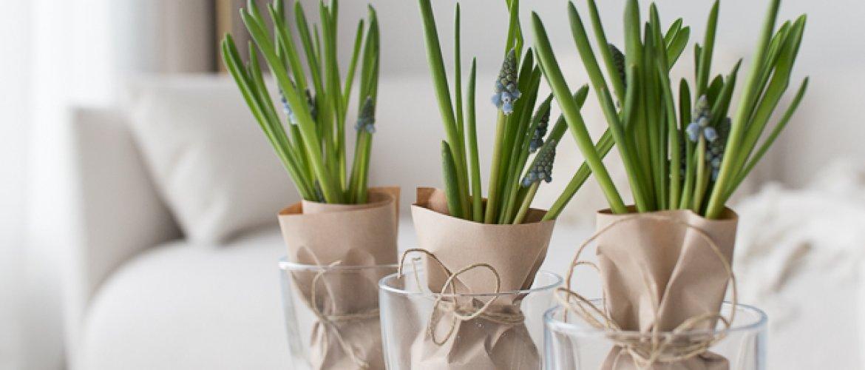 Sipulikukkia - lupaus keväästä-thumbnail
