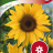 Sunflower 'Uniflorus'-thumbnail