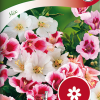 Clarkia amoena 'mix'-thumbnail