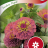 Isotsinnia 'Sunbow Purple'-thumbnail