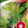 Mimosa pudica-thumbnail