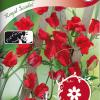 Sweet pea 'Royal Scarlet'-thumbnail