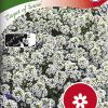 Lobularia maritima 'Carpet of Snow'-thumbnail