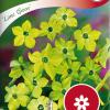 Nicotiana Sanderae 'Lime Green'-thumbnail