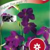 Nicotiana Sanderae 'Perfume Deep purple F1'-thumbnail