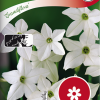 Nicotiana Sanderae 'Grandiflora'-thumbnail