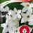 Koristetupakka 'Grandiflora'-thumbnail