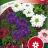 Tarhaverbena 'Ideal Florist'-thumbnail