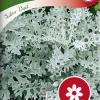 Silver ragwort 'Silver Dust'-thumbnail