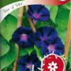 Ipomoea purpurea 'Star of Yelta'-thumbnail
